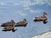 Утки плавают в лете вдоль реки Стоковые Изображения RF