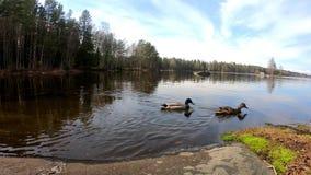 Утки плавают на озере в европейском touristic месте в солнечном красивом дне около озера сток-видео
