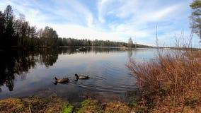 Утки плавают на озере к земле в европейском touristic месте в солнечном красивом дне сток-видео