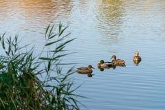 4 утки плавают на озеро города стоковые изображения rf