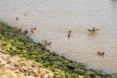 Утки плавая в Гудзоне стоковые фото