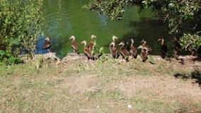 Утки плавая в зеленой воде Стоковые Изображения