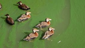 Утки плавая в зеленой воде Стоковое Изображение RF