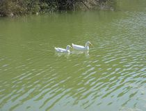 Утки плавая в озере Стоковые Фото