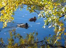 Утки плавая в пруде с ветвью желтых листьев осени стоковые изображения rf