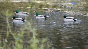 Утки плавая в пруд сток-видео