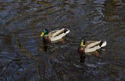 2 утки плавая в реке стоковые фото