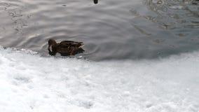Утки плавая на пруде льда в зиме акции видеоматериалы