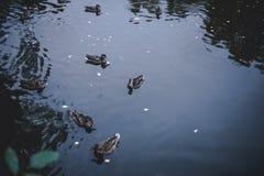 Утки плавая ринв озеро стоковые фотографии rf