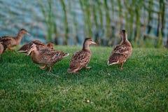 Утки подпирают траву озера после купать чистые пер Стоковая Фотография