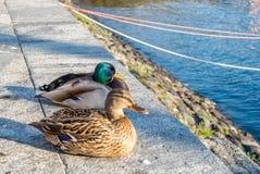 Утки приближают к озеру в Швейцарии Стоковое Изображение