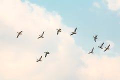 Утки проникать Стоковая Фотография
