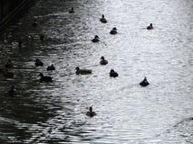 Утки плавая в озере Стоковые Изображения
