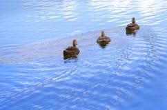 Утки плавая в озере Стоковая Фотография