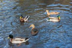 Утки плавая в пруде в парке на wintertime Стоковая Фотография