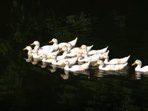 Утки плавая в пруде совместно Концепция подсобного хозяйства Стоковое Изображение RF