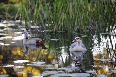 2 утки плавая в пруде Стоковое Изображение RF