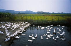 Утки плавая в пруде Стоковые Изображения