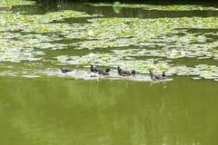 Утки плавая в пруде Стоковое Изображение RF