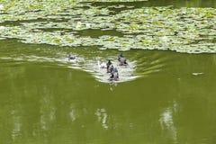 Утки плавая в пруде Стоковое фото RF