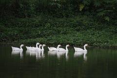 Утки плавая & говоря Стоковые Изображения RF