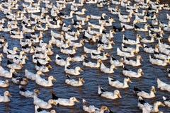 Утки плавая на озере Стоковые Фотографии RF