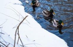 утки плавая на реку в зиме Стоковые Изображения RF