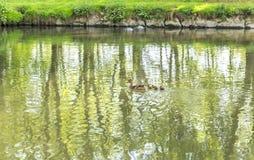 Утки плавая на реку Fiume Lambro пропуская через равенство Стоковое Изображение