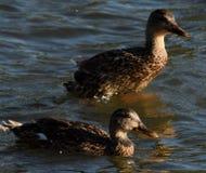 Утки плавая совместно Стоковые Изображения