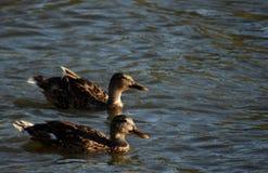 Утки плавая совместно Стоковые Фотографии RF