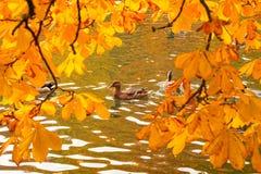 Утки плавая через пруд Стоковые Фотографии RF