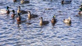 Утки плавая стоковая фотография