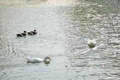 Утки плавая Стоковые Фото