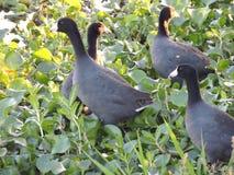 Утки самоката Стоковое фото RF