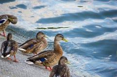утки сидят на банках Стоковые Фото