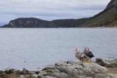Утки смотря залива Стоковое фото RF