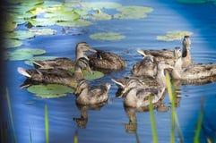 Утки собирая в пруде с пусковыми площадками лилии Стоковые Фото