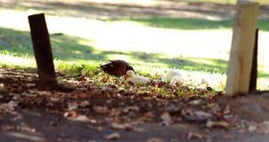 Утки утки и младенца есть траву сток-видео