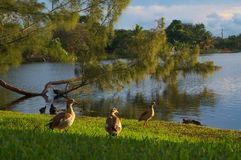 Утки Флориды вдоль стороны озера Стоковые Изображения RF