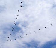 утки Стоковая Фотография