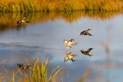 утки Стоковое Изображение