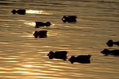 утки Стоковое фото RF
