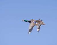 утки 2 Стоковые Изображения RF