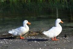 2 утки Стоковое Фото
