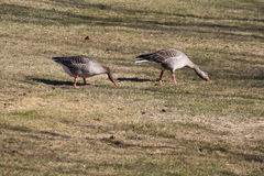 2 утки Стоковые Изображения