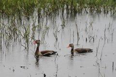 утки pond 2 Стоковая Фотография RF
