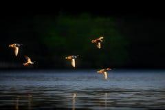 Утки Shoveller в полете Стоковые Фото