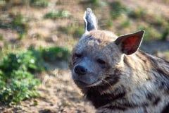 Утомленная гиена смотрит в камеру Портрет фото дикого животного Стоковые Фотографии RF