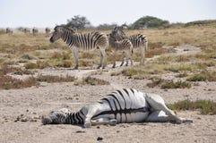 Утомленная зебра лежит в сухой пустыне Kalahari в Etosha Nati стоковые изображения