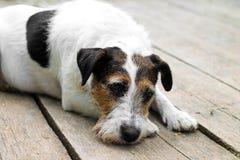 Утомленная собака после идти - унылая собака - выслеживает портрет Стоковые Фото